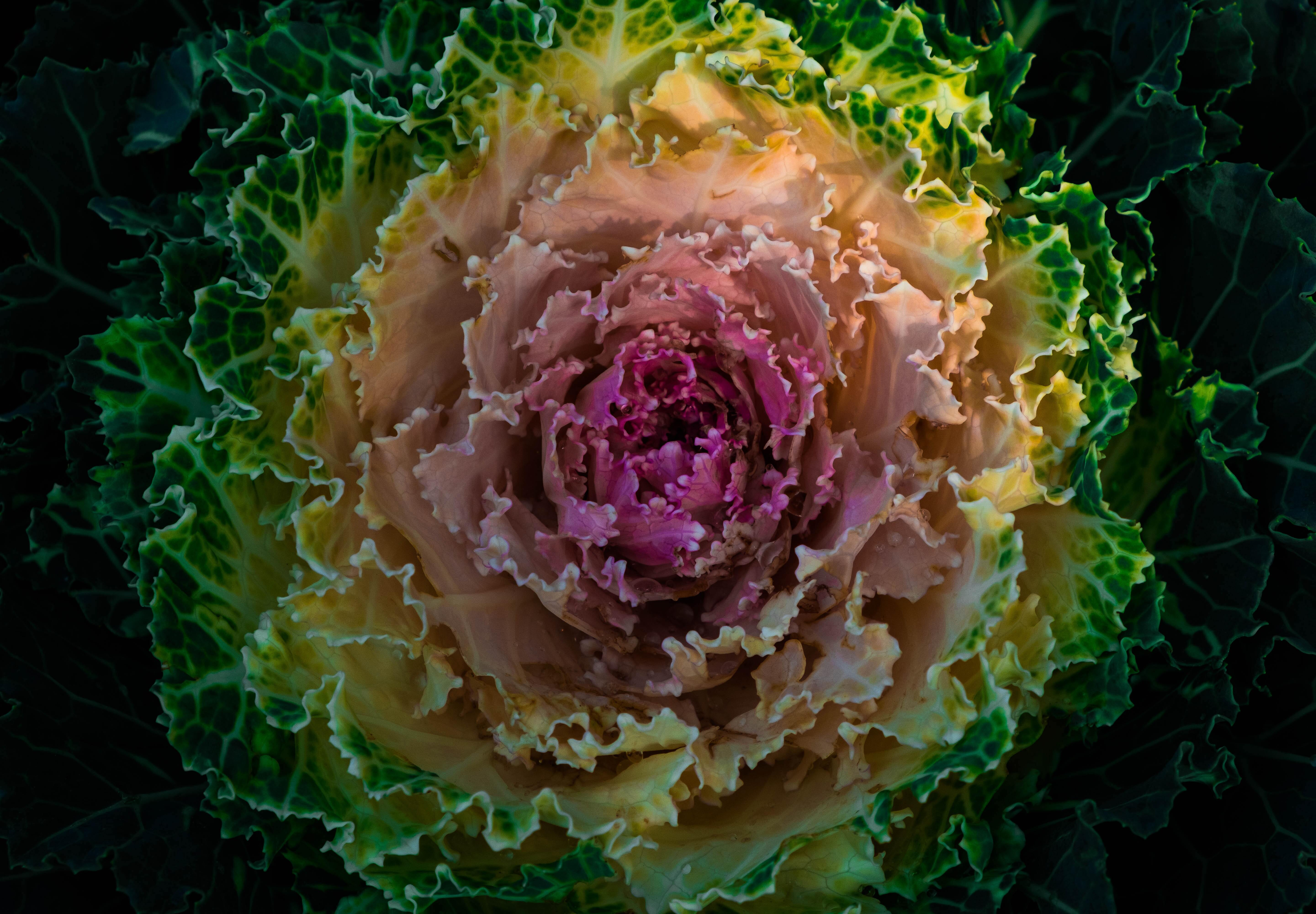 fermented food cabbage